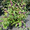Purple Beauty Berry Bush 3gal